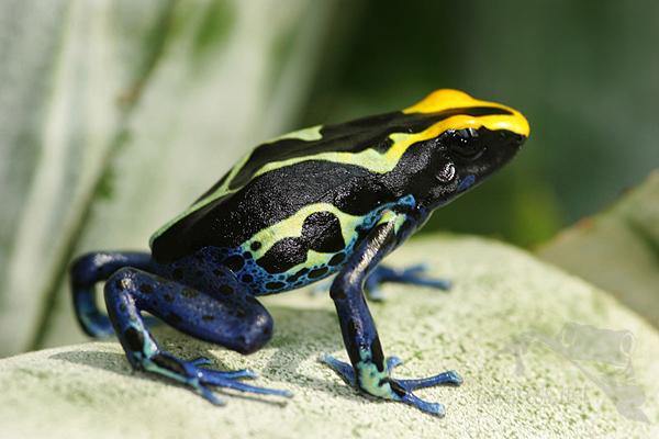 Výsledek obrázku pro šípová žába